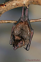 0211-08pp  Seba's Short-tailed Bat, Carollia perspicillata © David Kuhn/Dwight Kuhn Photography