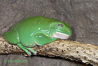 "1217-07qq  Mexican Dumpy Frog - Padaymedusa dacnicolor ""Mexico"" - © David Kuhn/Dwight Kuhn Photography."