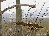 0405-1206  Harris's Hawk in Flight, Harris Hawk (Bay-winged Hawk or Dusky Hawk), Parabuteo unicinctus  © David Kuhn/Dwight Kuhn Photography