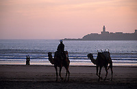 Afrique/Maghreb/Maroc/Essaouira : Chameaux sur la plage dans la lumière du soir en fond les îles Purpuraires ou îles de Mogador