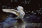 On a river sparked by summer light and in the shadow of black pine, a trumpeter swan flaps its wings vigorously, bringing order to every one of its feathers in Yellowstone National Park, Wyoming