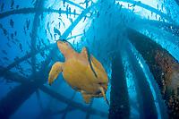 Loggerhead turtle, Caretta caretta, on gas production platform near East Flower Garden reef, Gulf of Mexico, Atlantic