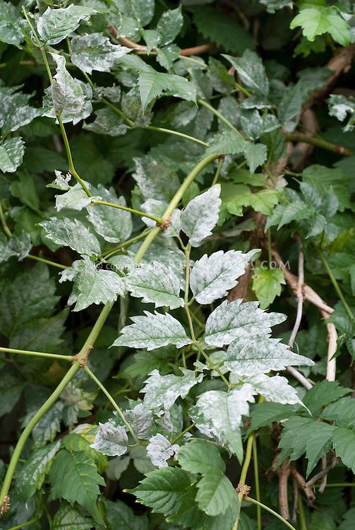 Powdery mildew plant leaf disease problem, white covering over leaves, garden disease