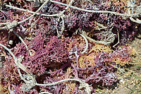 TANZANIA, Zanzibar, due to climate change and rising water temperatures seaweed farmer have shifted to plant red algae farming in deep water, sun dried red algae