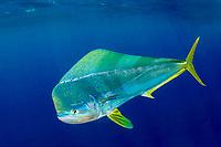 common dolphinfish, dorado, or mahi mahi, Coryphaena hippurus, bull, Cat Island, Bahamas, Caribbean, Atlantic Ocean