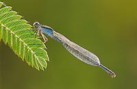 Familiar Bluet, Enallagma civile, female with dew, Willacy County, Rio Grande Valley, Texas, USA