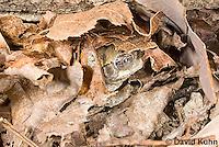 1025-0902  Torpid Eastern Gray Treefrog (Grey Tree Frog), Hibernating Under Leaf Litter and Log on Forest Floor, Hyla versicolor  © David Kuhn/Dwight Kuhn Photography