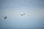 Cig?enuelas aterrizando en las Salinas y Arenales de San Pedro. San Pedro del Pinatar. Murcia.