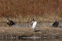 Snowy Egret, Egretta thula, and Greater White-fronted Geese, Anser albifrons, at Colusa National Wildlife Refuge, California