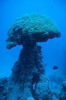 Massive pore resembling a mushroom in Boulari Channel, Noumea Lagoon, New Caledonia.