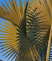 Bismarckia nobilis, Bismarck palm, Los Angeles County Arboretum