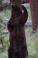 This American black bear (Ursus americanus) has found just the perfect place to scratch that nagging itch.
