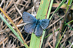 karner blue butterfly male sitting on grass in pine barren, concord, new hampshire