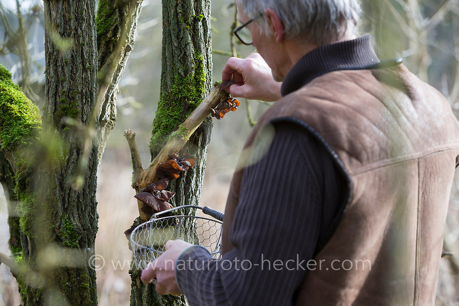 Judasohr-Pilzernte, Pilze sammeln, Pilzkorb, Judasohr, Ohrlappenpilz, Holunderschwamm, Judas-Ohr, Ohrlappen-Pilz, Holunder-Schwamm, Holunderpilz, Mu-Err, Auricularia auricula-judae, Hirneola auricula-judae, Auricularia auricula, Auricularia sambucina, Jew's ear, wood ear, jelly ear, Oreille de Judas, Oreille du diable