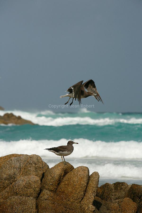 .Sooty Gull. Socotra island Yemen