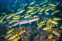 Whitetip reef shark, Triaenodon obesus swimming inside a shoal of Blue and gold snapper, Lutjanus viridis, Cocos Island, National Park, Natural World Heritage Site, Costa Rica, East Pacific Ocean