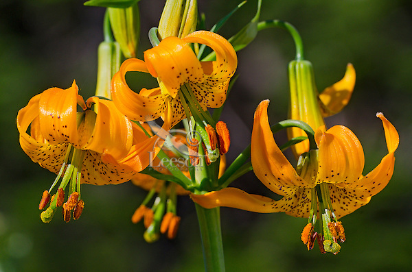 Columbia Lily, Columbian Lily, Oregon Lily, Tiger Lily (Lilium columbianum).  Pacific Northwest.  June.  Common wildflower from southern British Columbia in Canada south to northern California and east to Idaho and Nevada (northwestern U.S.A.).