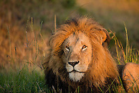 Male lion in early morning light, Masai Mara, Kenya.