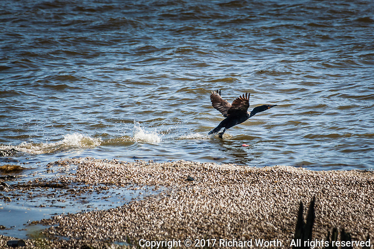 For this Double-crested cormorant, taking off requires several splashing steps on water until its speed and wings lift it into the air.