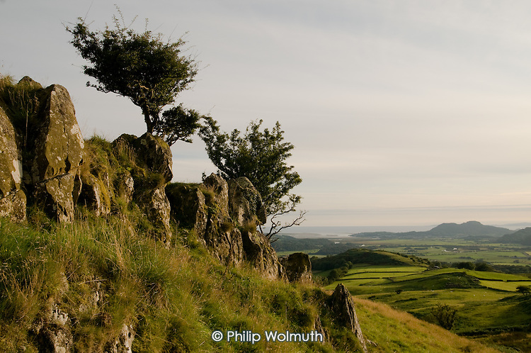 Windswept Hawthorn trees near the village of Croesor, Snowdonia National Park.