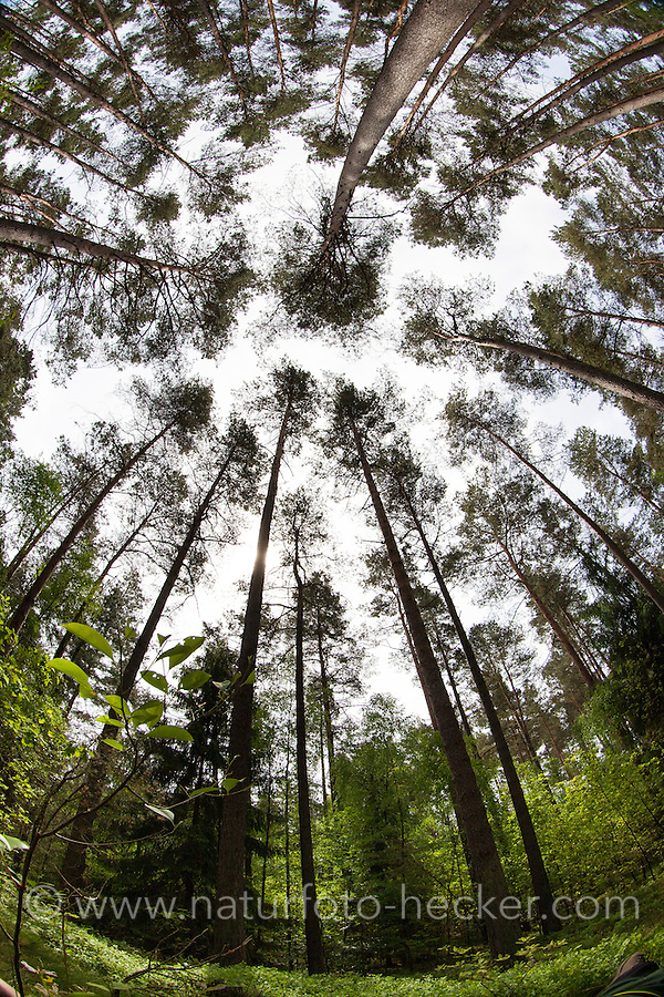 Kiefernwald, Kiefern-Wald, lichter Wald aus Kiefer, Kiefern, Baumwipfel, Wald-Kiefer, Waldkiefer, Gemeine Kiefer, Föhre, Pinus sylvestris, Scots Pine, tree top, tree tops, pine forest, pinewood
