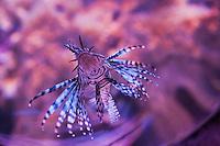 Europe/France/Aquitaine/64/Pyrénées-Atlantiques/Pays-Basque/Biarritz:  Poisson scorpion, Rascasse volante - Aquarium-  Musée de la Mer