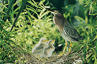 Green Heron, Butorides virescens,adult with young in nest in Willow Tree, Welder Wildlife Refuge, Sinton, Texas, USA, June 2005