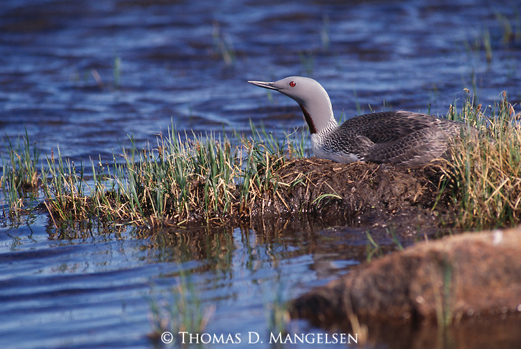 Arctic Loon laying in grass on shore