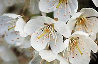 Closeup of crab apple blossoms.