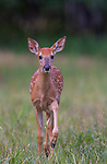White-tailed fawn coming over to investigate.
