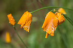 Rain drops on closed California poppy flowers, spring time in the Sierra Nevada foothills of central California.