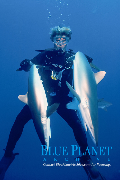 diver holds two silky sharks, Carcharhinus falciformis, in a state of tonic immobility, AUTEC buoy, Bahamas, Caribbean Sea, Atlantic Ocean
