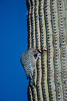 Gila Woodpecker, Melanerpes uropygialis, adult feeding on Saguaro Cactus, Tucson, Arizona, USA, January 1995