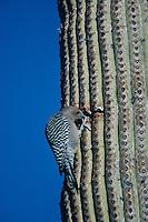 Gila Woodpecker, Melanerpes uropygialis, adult feeding on Saguaro Cactus, Tucson, Arizona, USA, January 1995