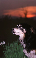 The loyal friend, mixed breed dog looking up at sunset