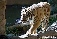 0328-1007  Malayan Tiger, Panthera tigris malayensis  © David Kuhn/Dwight Kuhn Photography.