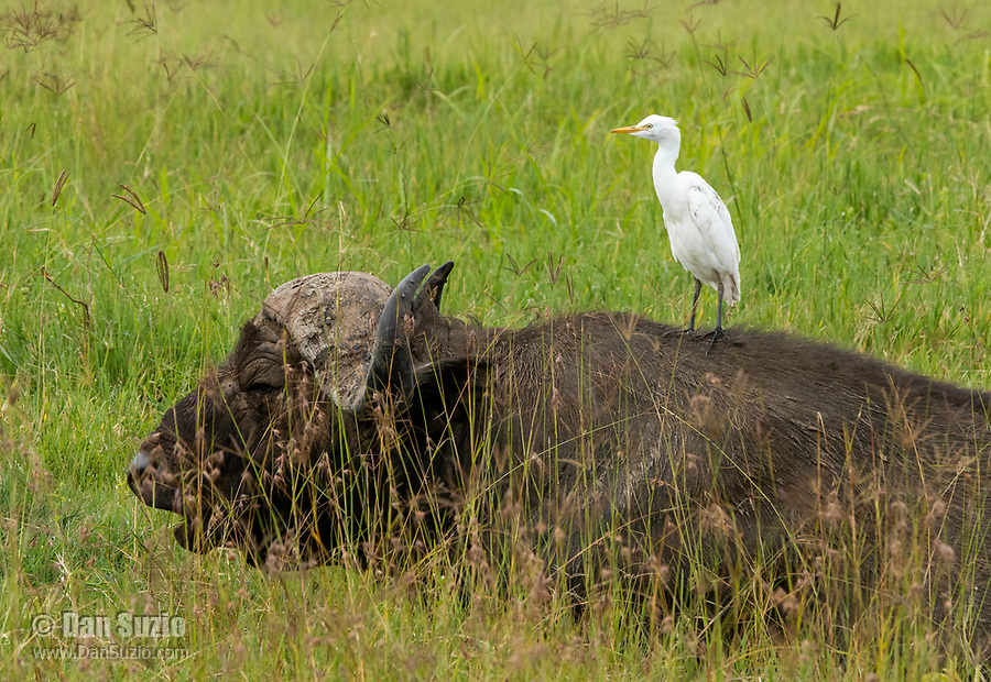 A Cattle Egret, Bubulcus ibis, perches on the back of a Cape Buffalo, Syncerus caffer caffer, in Lake Nakuru National Park, Kenya