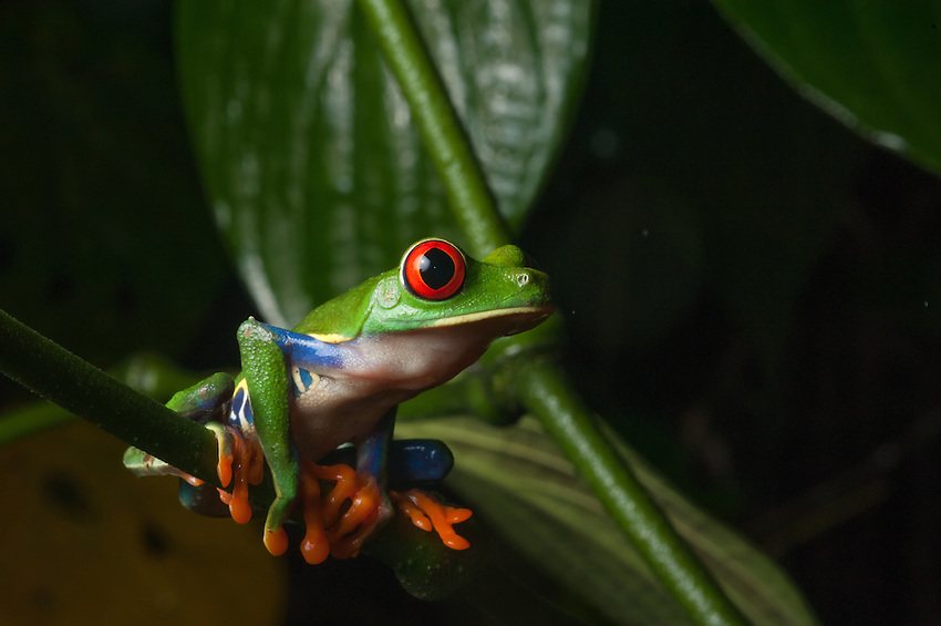 Red-Eyed Tree Frog (agalychnis callidryas) - Costa Rica's most iconic amphibian, this treefrog can be seen on nearly every  tourism advertisement and knick-nack in the country. These frogs lay their eggs on vegetation overhanging small ponds. When the tadpoles hatch, they drop into the water to begin their development. Siquerres, Costa Rica. - Costa Rica's most iconic amphibian, this treefrog can be seen on nearly every  tourism advertisement and knick-nack in the country. These frogs lay their eggs on vegetation overhanging small ponds. When the tadpoles hatch, they drop into the water to begin their development. Siquerres, Costa Rica.