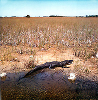 Alligator in the Everglades<br />