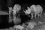 Etosha National Park, Namibia , black rhinoceros or hook-lipped rhinoceros (Diceros bicornis)