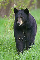 Black Bear walking along the edge of a forest