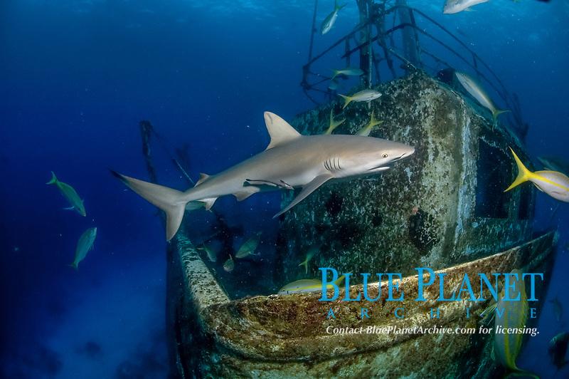 Caribbean reef sharks, Carcharhinus Perezii, Caribbean reef sharks swimming over a shipwreck, length to 3m, Nassau, Bahamas