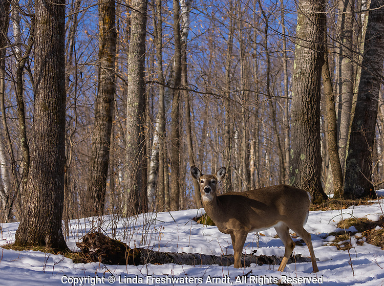 White-tailed doe in a northern Wisconsin woodland.