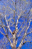 Northern Raccoon, Procyon lotor, adult in tree fork, Welder Wildlife Refuge, Sinton, Texas, USA, March 2005