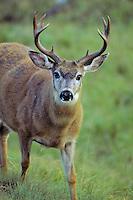Black-tail deer (Odocoileus hemionus) buck, Pacific N.W., Sept.