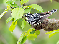 Black and white warbler, Mniotilta varia, male, perched on evergreen Nova Scotia Canada