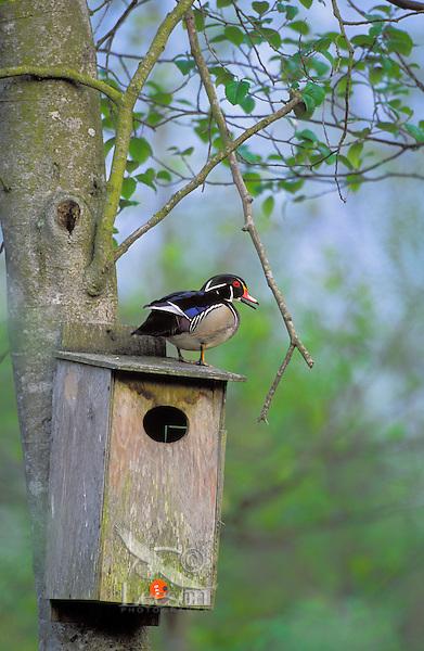 Wood Duck drake on nesting box. Spring. Burnaby Lake, British Columbia, Canada. (Aix sponsa)..