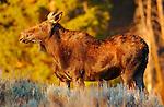 Female Moose at Sunrise, Floating Island Lake, Yellowstone National Park, Wyoming