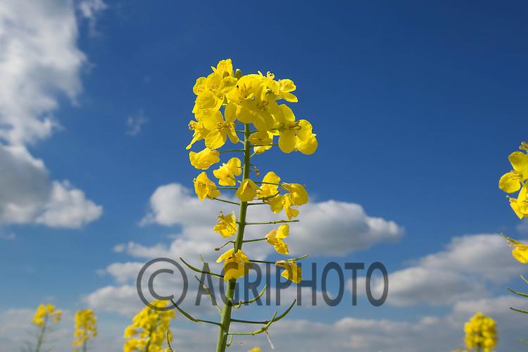 Oilseed rape in flower<br /> Picture Tim Scrivener 07850 303986