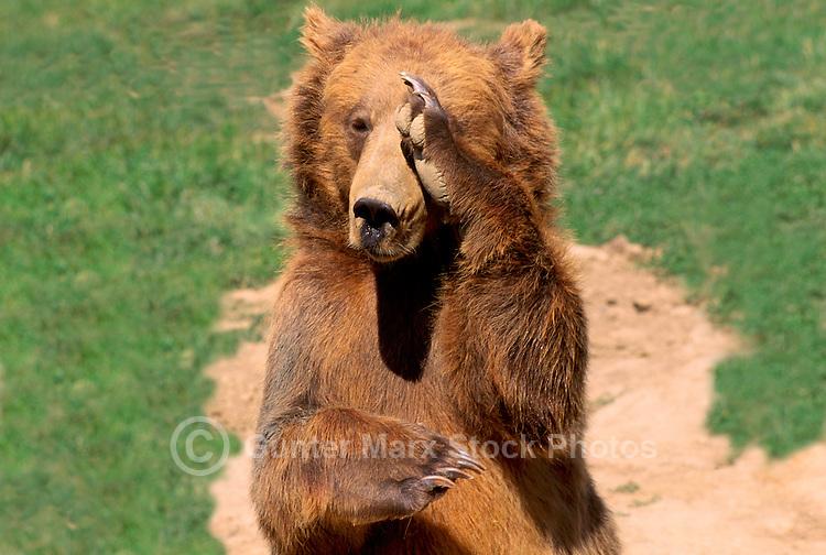 Kodiak Bear aka Alaskan Grizzly Bear and Alaska Brown Bear (Ursus arctos middendorffi) scratching Nose and Eye